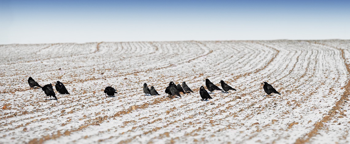 Crows in winter field