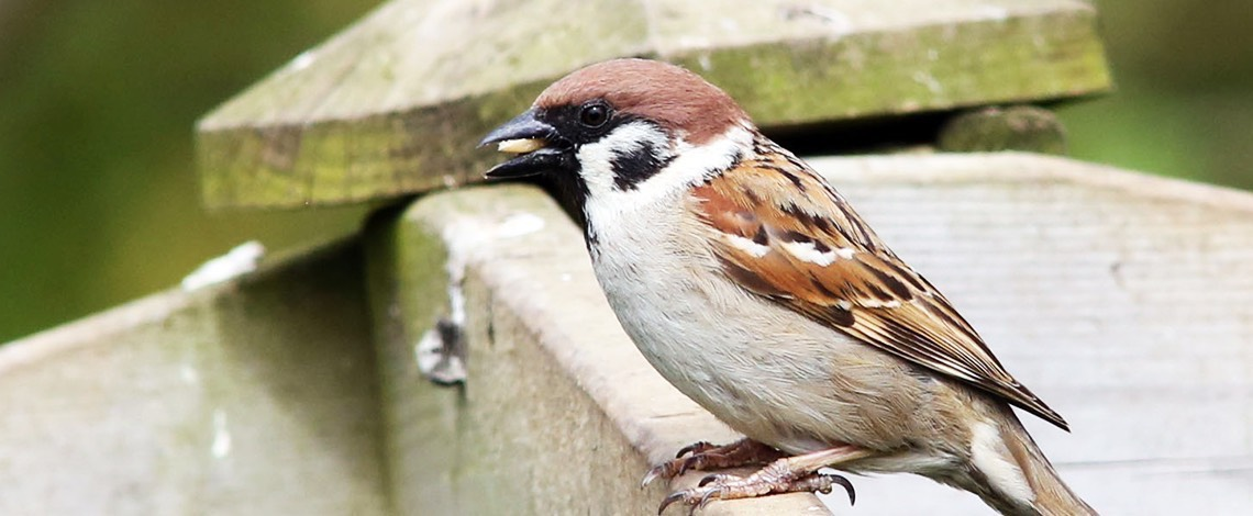 House Sparrow on farm fence