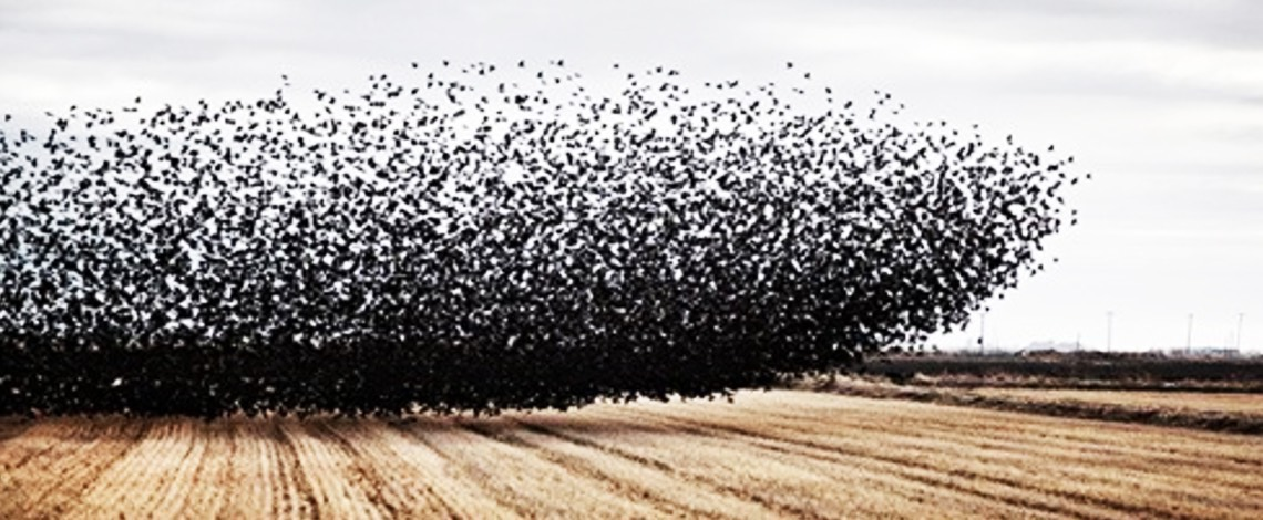 Starlings eating crops
