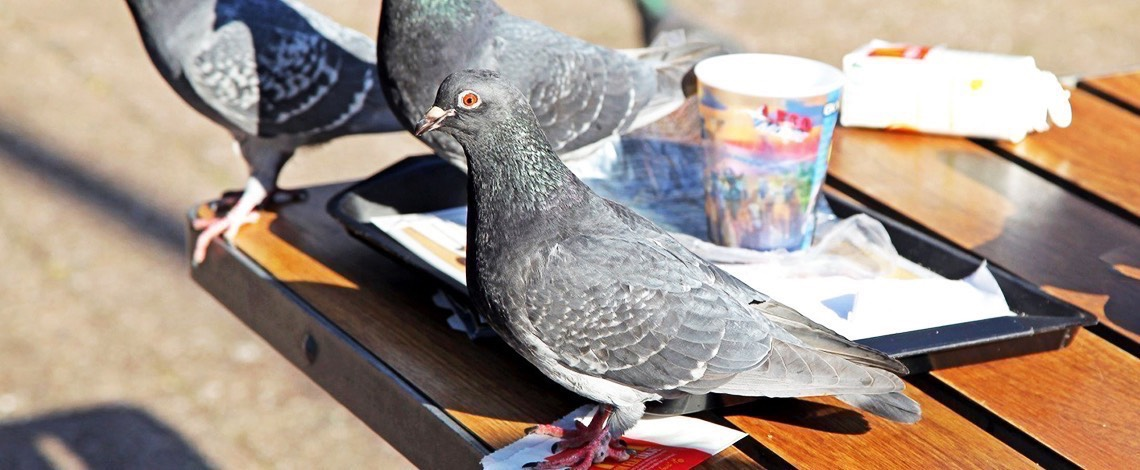 Pigeons in break areas