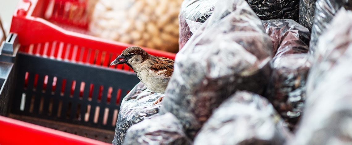 House Sparrow in Store